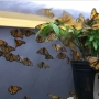 Help the butterfly population bounce back after years of dwindling numbers