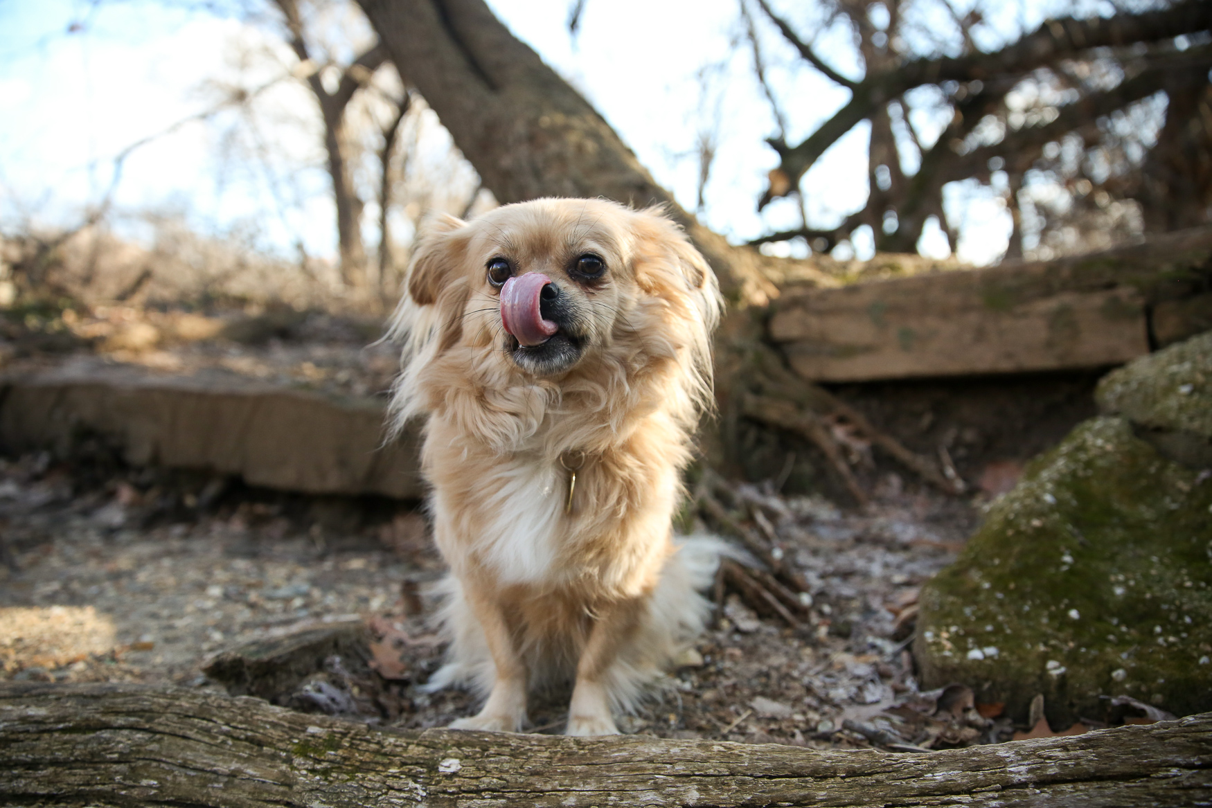 Meet Eloise, a 5-year-old Chihuahua/Pekingese (at least according to her DNA test) pup who we can't get enough of! If you want to follow her adventures, she is on Instagram at @eloiseindc.{ } Eloise is a rescue from South Carolina who came up to D.C. thanks to the volunteers at Mary Ann Morris Animal Society. Fittingly, her mom adopted her on Mother's Day 2015. Eloise loves snuggles, scallops, Golden Retrievers, bully sticks, squeaky toys that are far too big for her and running around Rock Creek Park like a maniac. She's not a fan of thunder, fireworks, skateboards/electric scooters, garbage trucks and bath time. Don't underestimate Eloise based on her size -- she once hiked Hawksbill Mountain to the summit, and despite being the smallest dog on the trail, she led the pack both up and down the trail! She's also been known to outrun Great Danes even though her legs are about three-inches long. If you're interested in having your pup featured, drop us a line at aandrade@dcrefined.com (Image: Amanda Andrade-Rhoades/DC Refined)