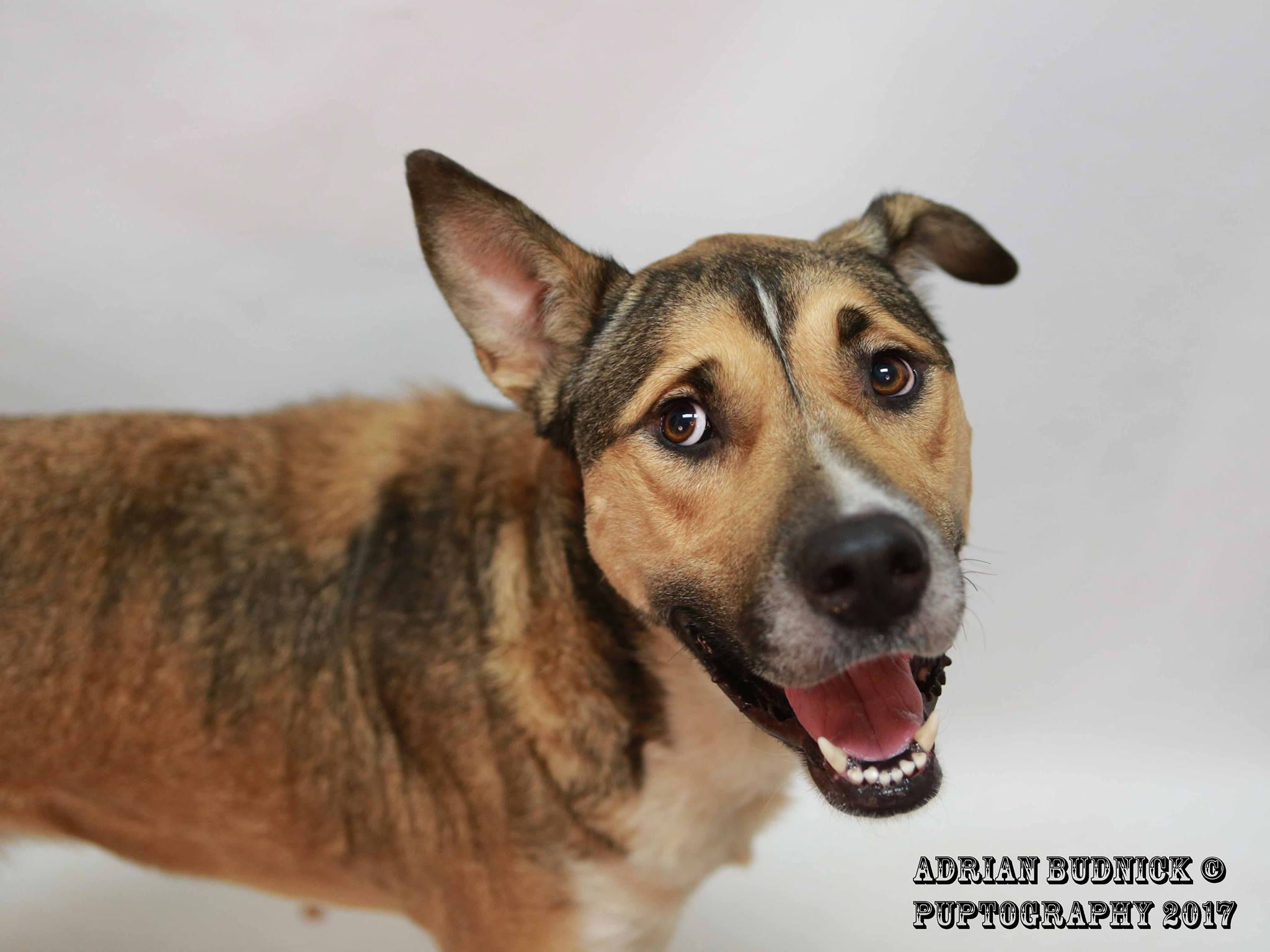 Darcy A176998 is a 3 year old german shepherd mix. She is available at Metro Nashville Animal Care and Control