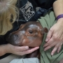 Cincinnati Zoo baby hippo in critical condition after premature birth