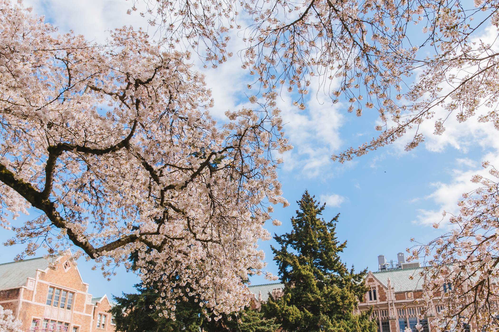 "The cherry blossoms at the University of Washington quad are an annual tradition that so many love and enjoy. This year, the UW is asking folks not to visit in-person because of the pandemic, and instead have a{&nbsp;}<a  href=""https://www.washington.edu/video/campus-webcams/"" target=""_blank"" title=""https://www.washington.edu/video/campus-webcams/"">livestream</a>{&nbsp;}up. In our capacity as a news-related outlet, we were able to send a photographer out to quickly and safely get some shots of the blossoms in all their glory. Because we all still deserve to at least have them gracing our screens, if an in-person experience can't be possible! (Image: Sunita Martini / Seattle Refined){&nbsp;}"